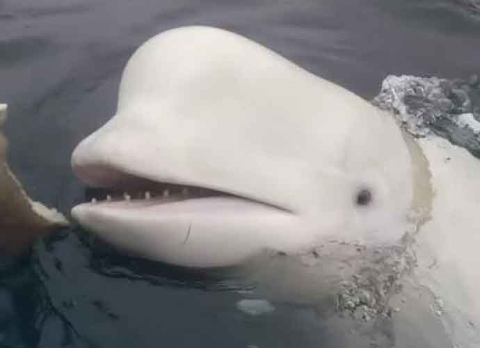 Russians Use Beluga Whales With GoPros Cameras As Spies Off The Coast Of Norway