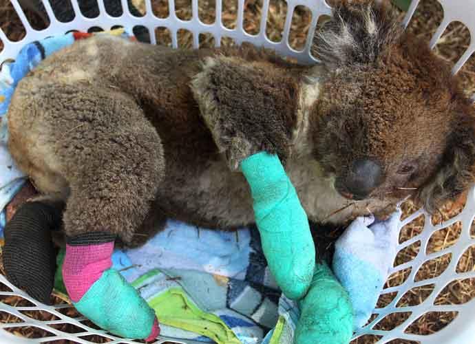 Hundreds Koalas Get Treatment For Burned Paws As Fires Burn On Australia's Kangaroo Island [Photo]