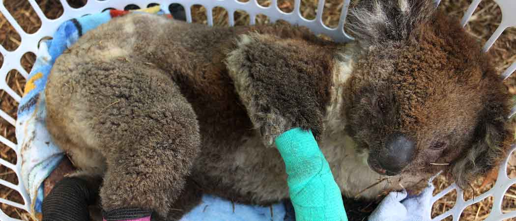 Hundreds Koalas Get Treatment For Burned Paws As Fires Burn On Australia's Kangaroo Island [Photo]