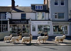 LLANDUDNO, WALES - MARCH 31: Mountain goats roam the streets of LLandudno on March 31, 2020 in Llandudno, Wales. The goats normally live on the rocky Great Orme but are occasional visitors to the seaside town, but a local councillor told the BBC that the herd was drawn this time by the lack of people and tourists due to the COVID-19 outbreak and quarantine measures.